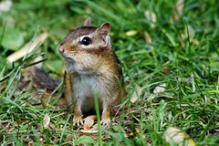 Eastern Chipmunk (Anne Ahearne) Tags: wild animal nature wildlife cute chipmunk easternchipmunk grass closeup