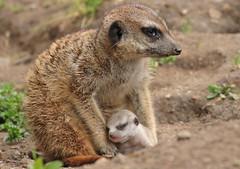 meerkat Burgerszoo 094A0705 (j.a.kok) Tags: animal africa afrika mammal meerkat motherandchild moederenkind stokstaartje zoogdier dier burgerszoo burgerzoo baby babymeerkat babystokstaartje