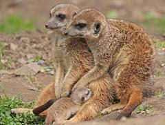 meerkat Burgerszoo 094A0694 (j.a.kok) Tags: animal africa afrika mammal meerkat motherandchild moederenkind stokstaartje zoogdier dier burgerszoo burgerzoo baby babymeerkat babystokstaartje
