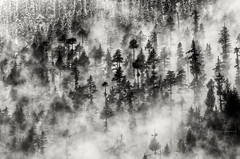 ...in the midst of a mist (CoSurvivor) Tags: clouds trees forest mist reminiscing pine manali himalaya himalayas india himachal incredibleindia natgeotraveler natgeoyourshot lonelyplanetindia bnw monochrome travel nature mountains explore cosurvivor photography