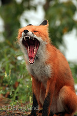 Yawn! (DennisKirkland) Tags: coyotewolffoxredgraycrosstimbervulpes vulpescanis lupalaskausacoyote wolf fox red gray cross timber vulpesvulpes canislupus urocyoncinereoargenteus wild wildlife outdoors photograph editors publishers license licensing dennisekirkland spring summer winter fall
