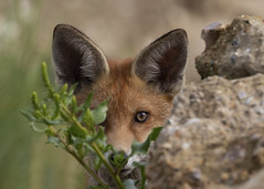 Fox (vulpes vulpes) (Steve Ashton Wildlife Images) Tags: fox vulpes vulpesvulpes cub foxcub