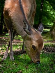 Deer (Morrîs) Tags: deer reh animal nature green wildlife grass trees telephoto close eye panasonic g9 mft olympus 40150 park wild light fur