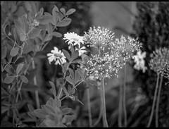 LTR late spring floral forms, cluster, Asheville, NC, Mamiya 645 Pro, mamiya sekor 45mm f-2.8, Bergger Pancro 400, HC-110 developer, 6.6.19 (steve aimone) Tags: flowers floralforms floral cluster latespring asheville northcarolina mamiya645pro mamiyasekor80mmf28 mamiyaprime primelens blackandwhite monochrome monochromatic 120 120film film mediumformat 645