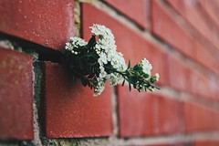 Wallflower, wallflower  won't you dance with me? (erlingraahede) Tags: denmark holstebro moody vsco canon wall bricks wallflower poetic