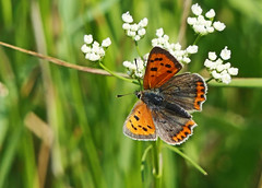 Small Copper Butterfly (eric robb niven) Tags: ericrobbniven scotland small copper wildlife nature springwatch dundee macro