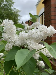 White flower. Россия. Урал 2019. Russia. Ural 2019. (svv.david) Tags: россия урал 2019 russia ural flower white blooms green leaf tree grass city street summer