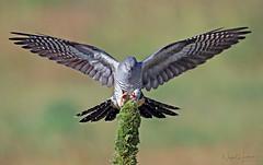Common Cuckoo (Nigel Hodson) Tags: canon 1dxmkii 600mmf4ii cuckoo commoncuckoo birds birdphotography bird nature naturephotography wildlife wildlifephotography