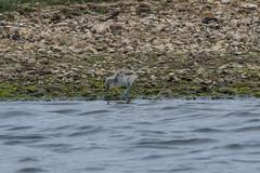 Baby Avocet (billnharris228) Tags: avocet birds keyhaven