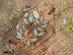 Stomaphis graffii (Julian Hodgson) Tags: stomaphisgraffii hemiptera aphididae lachninae stomaphis insect aphid sycamore acerpseudoplatanus bramptonwood naturereserve sssi brampton huntingdon cambridgeshire unitedkingdom sonydschx400v raynoxdcr150