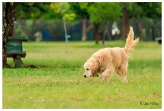 Places To Go, Things To Sniff And Smell (FidoPhoto (John McKeen)) Tags: dog dogs mustlovedogs dogphotographer dogphotography pet pets petphotography petphotographer canine retriever goldenretriever labradorretriever mansbestfriend happydog petportrait dogportrait