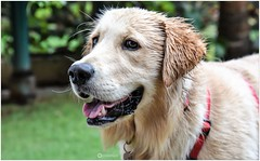 """""""A dog is the only thing on earth that loves you more than he loves himself.""""_ Josh Billings (Ramalakshmi Rajan) Tags: dogs dog animals animal goldenretriever nikon nikond750 nikkor24120mm"""