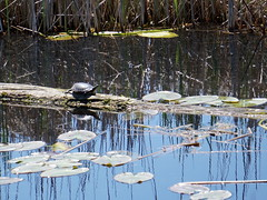 Catching a few rays of sunshine (Toats Master) Tags: turtle marsh water nature log lilypads spring