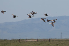 IMG_2644 (armadil) Tags: arenaplainsunit wildflowers mercednationalwildliferefuge michelle goose geese greaterwhitefrontedgeese greaterwhitefrontedgoose cow cows bird birds