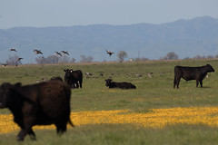 IMG_2654 (armadil) Tags: arenaplainsunit wildflowers mercednationalwildliferefuge michelle goose geese greaterwhitefrontedgeese greaterwhitefrontedgoose cow cows bird birds