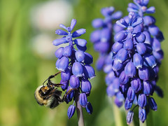 Traubenhyazinthe /  grape hyacinth (A.Dragonheart) Tags: biene blume hyacinth hyacinthus hyazinthe insekt tier animal bee flower insect natur nature outdoor muscari traubenhyazinthe grape