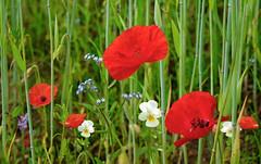 Die Blumenwelt im Getreidefeld (Mariandl48) Tags: austria blumen steiermark vergissmeinnicht stiefmütterchen klatschmohn mohnblumen getreidefeld wenigzell sommersgut