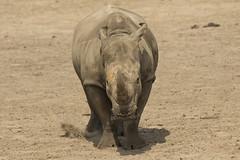 Neushoorn - Safaripark Beekse Bergen - Hilvarenbeek (Jan de Neijs Photography) Tags: dierentuin zoo tamron tamron150600 150600 dierenpark nl holland thenetherlands dieniederlande utrecht diergaarde animal dier beeksebergen neushoorn hilvarenbeek rhinocerotidae rhino safariparkbeeksebergen safaripark witteneushoorn breedlipneushoorn sbb hoorn g2 tamron150600g2