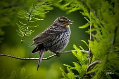 Red-winged Blackbird (jt893x) Tags: 150600mm agelaiusphoeniceus bird blackbird d500 female jt893x nikon nikond500 redwingedblackbird sigma sigma150600mmf563dgoshsms thesunshinegroup alittlebeauty coth coth5 ngc sunrays5