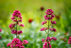 _DSC1656 (Ghostwriter D.) Tags: burghausen castle bavaria town nikond600 flowers garden