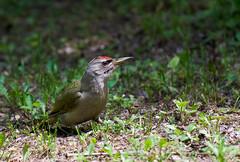 Gray-headed Woodpecker (Picus canus) (Kremlken) Tags: picuscanus parks woodpeckers moldovan birds birding birdwatching nikon500 easterneurope