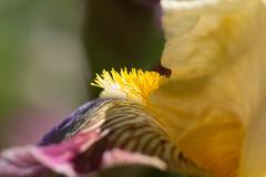 Iris (Gisou68Fr) Tags: iris fleur flore jaune macro bokeh