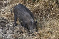 An evening trip (elinay76) Tags: wildboar boar