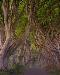 Dark Hedges (the governor) Tags: sunrise trees darkhedges
