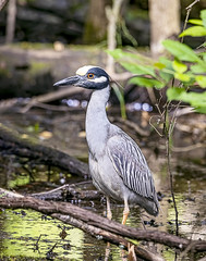 Yellow Crowned Night Heron (will139) Tags: yellowcrownednightheron nychtanassaviolacea heron pelecaniformes wadingbird stocky longlegs shallowwater crustaceans insects fisg lizards rodents bird nature avian beautyinnatureanimalsinthewild ornithology eaglecreekpark
