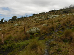 Mount Kenya afro-alpine vegetation (tammoreichgelt) Tags: mount kenya afro alpine afroalpine vegetation grass tussock festuca poaceae groundsel giant asteraceae senecio lobelia campanulaceae grassland mountain
