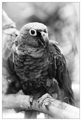 Papagei / Parrot (Dirk Böhling) Tags: monochrome monochrom blackandwhite m9 teletessart485 nature natur animals zm