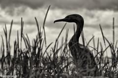 Le cormoran de Concarneau (Remnaeco35) Tags: pentaxk1 statue oiseau cormoran noiretblanc bw