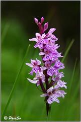 Dactylorhiza (silvestre) (PacoSo) Tags: macro orquídea silvestre orchid wildflower orchis dactylorhiza navarra pacoso