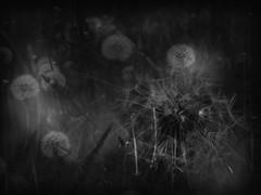 Land of hope... (Ageeth van Geest) Tags: twoinone wishing nature fly monochrome blackandwhite bw flowers field dandelion wish smileonsaturday doubleexposure