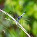 Pachydiplax longipennis, Blue Dasher
