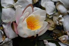 DSC_2994 (griecocathy) Tags: macro fleur nénuphar pétale eau araignée blanc jaune vert rose beige