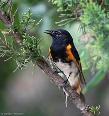 American Redstart (Setophaga ruticilla) - Sandy Hook, New Jersey, USA (JFPescatore) Tags: americanredstart setophagaruticilla