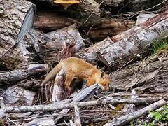190604-74 Renardeau (clamato39) Tags: renard fox redfox animal wild sauvage outside olympus nature forest forêt provincedequébec québec canada