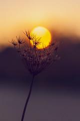 Melt into one (Ans van de Sluis) Tags: 2016 ansvandesluis autumn bokeh bokehlicious december fall flora floral macro malden molenhoek nature sunset trees