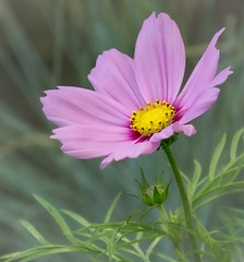 Pink Cosmos Bloom (mahar15) Tags: plant flowers nature flower outdoors cosmosflower bloom pinkcosmos cosmos pink