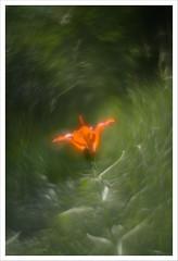 Back in USSR 14 (Outlaw Pete 65) Tags: macro closeup fiore flower natura nature colori colours nikond750 zenithelios58mm brescia lombardia italia