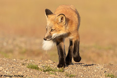 Red Fox Kit (Vulpes vulpes) (bcbirdergirl) Tags: vulpesvulpes redfox foxkit foxes ilovefoxes fox redfoxkit blackphasefox silverphase babies cute kit kits