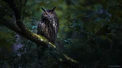 D82_9529 (immersion-nature) Tags: nuit sombre nocturne arbre animaux animal sauvage malbrecq nature rapace oiseaux chimay climat oiseau etang brume brouillard riviere foret bird birds