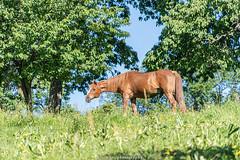 A happy Horse - June 2019 IV (boettcher.photography) Tags: juni june 2019 badenwürttemberg rheinneckarkreis germany deutschland sashahasha boettcherphotos boettcherphotography kurpfalz mückenloch neckargemünd