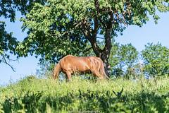 A happy Horse - June 2019 I (boettcher.photography) Tags: juni june 2019 badenwürttemberg rheinneckarkreis germany deutschland sashahasha boettcherphotos boettcherphotography kurpfalz mückenloch neckargemünd