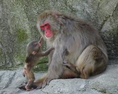 Hana and her mama (Maia C) Tags: sonydschx80 maiac detroitzoo zoo japanesemacaque snowmonkey carmen hana baby