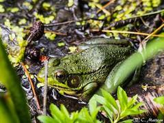190604-19 Grenouille verte (clamato39) Tags: grenouille frog animal olympus marais marsh eau water outside wild sauvage nature provincedequébec québec canada