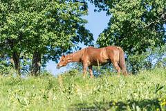 A happy Horse - June 2019 III (boettcher.photography) Tags: juni june 2019 badenwürttemberg rheinneckarkreis germany deutschland sashahasha boettcherphotos boettcherphotography kurpfalz mückenloch neckargemünd
