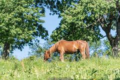 A happy Horse - June 2019 II (boettcher.photography) Tags: juni june 2019 badenwürttemberg rheinneckarkreis germany deutschland sashahasha boettcherphotos boettcherphotography kurpfalz mückenloch neckargemünd