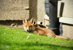 (NengHetty) Tags: smartphone photography universityofaberdeen aberdeen grampian scotland kingscollege lawn sunshine summer celebration fox cub